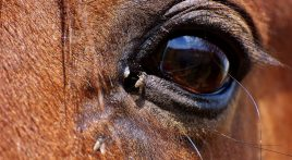 How to keep flies off horses this season