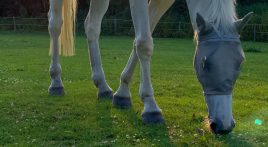 How does spring grass affect horses?